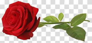 , Rosa vermelha com haste, flor rosa vermelha PNG clipart