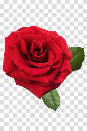 rosa vermelha, rosa vermelha, rosa vermelha grande PNG clipart