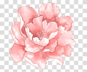 Flores cor de rosa Pintura em aquarela, flores em aquarela rosa em plena floração, ilustração de flor de peônia rosa PNG clipart