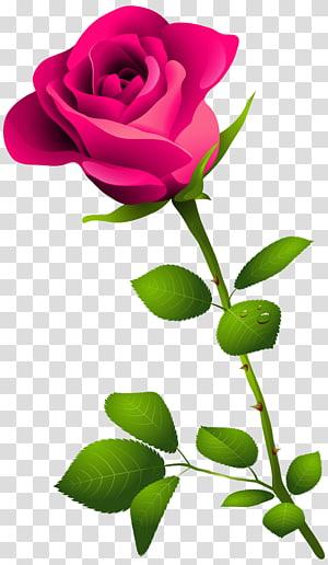 Rosa flor rosa, rosa com haste, rosa rosa ilustração PNG clipart
