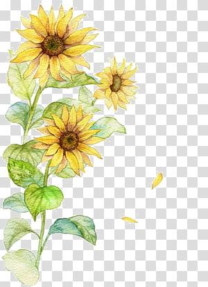 Cartaz comum do girassol, girassol da aguarela, pintura amarela dos girassóis png