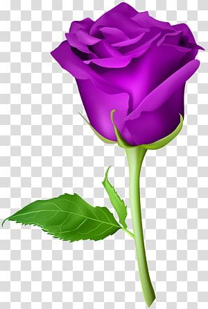 ilustração de rosa roxa, rosa azul flor artificial, rosa roxa PNG clipart