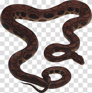 cobra marrom e preta, cobra cobra réptil rei, cobra livre PNG clipart