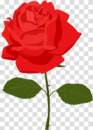 ilustração de flor rosa vermelha, flor rosa, rosa vermelha PNG clipart