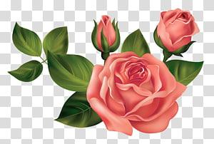 três rosas vermelhas, rosa, rosas PNG clipart