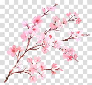 ilustração de flores de cerejeira rosa, flor de cerejeira ramo de flor pintura em aquarela, flor de cerejeira png