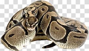 Cobra de milho t-shirt réptil python, anaconda PNG clipart