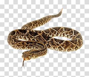 Cascavel de diamondback oriental, cobra PNG clipart