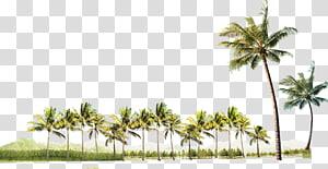 Árvore, coqueiro, palmeiras verdes png