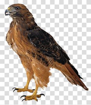 pássaro preto e marrom falcão, águia, falcão PNG clipart