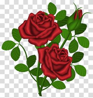 Rosa vermelha, rosas vermelhas, ilustração de rosa vermelha PNG clipart