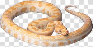 cobra víbora laranja, cobra, cobra branca PNG clipart