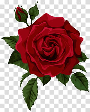 Rosa flor vermelha euclidiana, rosa vermelha com broto, ilustração rosa vermelha PNG clipart