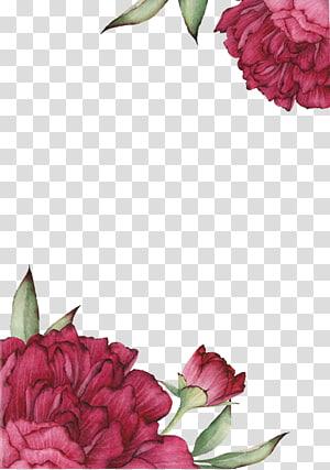 Rosas Centifolia desenho de flor, rosa vermelha efeito pintado, close-up de flores cor de rosa PNG clipart