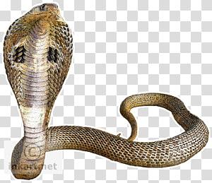cobra marrom, cobra cobra indiana rei cobra, cobra fundo PNG clipart