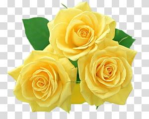 Flor rosa amarela, rosas amarelas, três flores amarelas PNG clipart