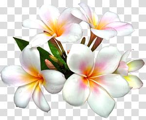 Flor branca, branca flor grande, flores de frangipani branco e laranja PNG clipart