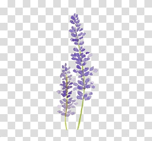 ilustrações roxas da alfazema, pintura da aguarela alfazema que tira flores da aguarela, pintando png