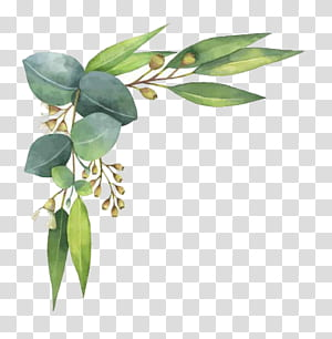 Eucalipto polyanthemos Pintura em aquarela ilustração, aquarela folhas, folhas verdes sobre fundo branco png