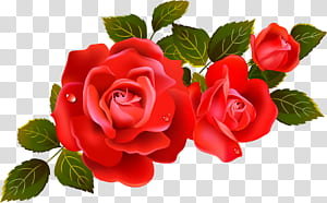 Flor rosa, elemento de grandes rosas vermelhas, rosas vermelhas com folhas PNG clipart