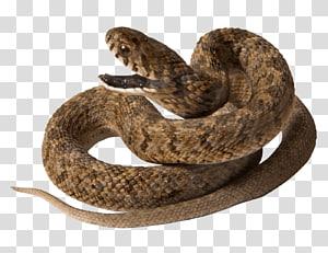 Réptil de guaxinim de cobra, cobra PNG clipart