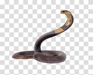 cobra preta e marrom, cobra egípcia cobra réptil rei cobra, cobra PNG clipart