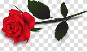 Rosa, linda rosa vermelha, rosa vermelha PNG clipart