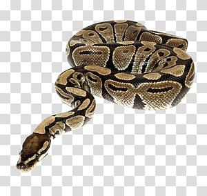 cobra preta e marrom contra o fundo azul, réptil cobra Python, cobra PNG clipart