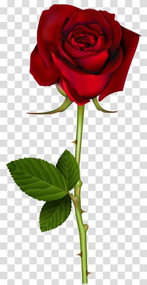 Rosa vermelha, rosa vermelha, ilustração de rosa vermelha PNG clipart