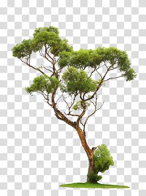 Árvore, árvores, árvore de folhas verdes png