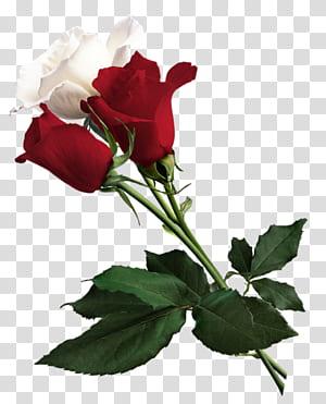 Rosa branca de York flor vermelha Rosa branca de York, rosas brancas e vermelhas, rosas vermelhas e brancas PNG clipart