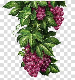 uvas com folhas verdes ilustração, Chernogolovka uva limonada Illustrator ilustração, uvas deliciosas png