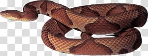 Cobra, Cobra PNG clipart