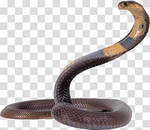 Cobra rei cobra, cobra cobra, livre PNG clipart