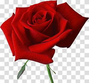 Rose Flower, rosa vermelha grande, ilustração de flor vermelha PNG clipart