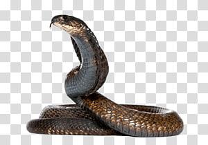 ilustração de cobra marrom, cobra egípcia cobra rei cobra cobra monocular, cobra cobra PNG clipart