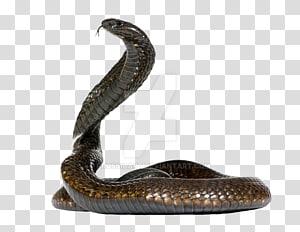 Cobra egípcia Cobra Cape cobra King cobra, cobra PNG clipart
