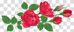 ilustração de flor rosa vermelha, rosa flor vermelha, rosas vermelhas PNG clipart