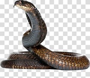 Cobra Rei cobra Cobra egípcia, cobras Cobra PNG clipart