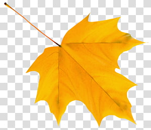 Folha de outono cor amarela, folha de outono amarela, folha de bordo amarela PNG clipart