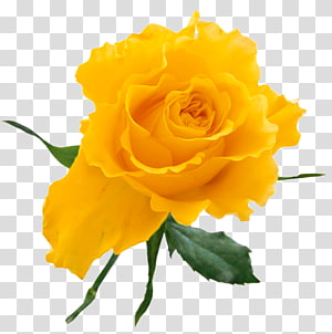 Rosa amarela, rosa amarela, rosa amarela PNG clipart