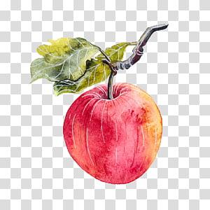 Ilustração de fruta maçã vermelha, Apple Aquarela pintura Illustrator, Aguarela pendurada nos galhos da maçã png