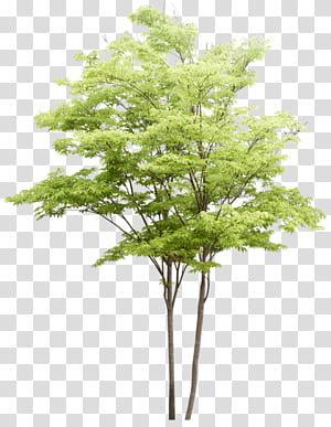 Populus nigra Pintura em aquarela de árvore Arquitetura paisagística, padrão de árvores, ilustração de árvore de folhas verdes png