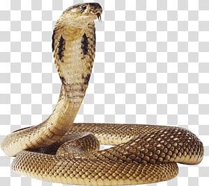 cobra marrom, réptil de serpentes víbora, cobra PNG clipart