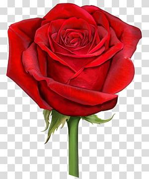 ilustração de rosa vermelha, arquivo escalável Rose Graphics Computer, rosa vermelha PNG clipart