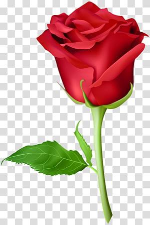 ilustração de rosa vermelha, rosa laranja roxo, rosa vermelha PNG clipart