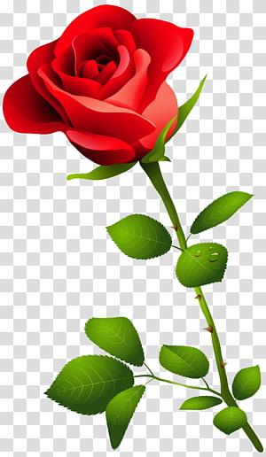 ilustração de rosa vermelha, rosa rosa, rosa vermelha com haste PNG clipart