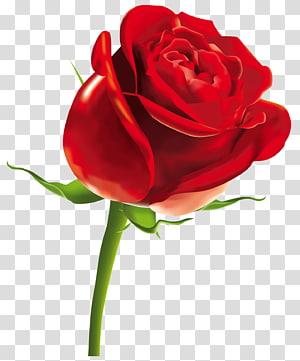 Rose Scalable Graphics Arquivo de computador, rosa vermelha, ilustração de rosa vermelha PNG clipart