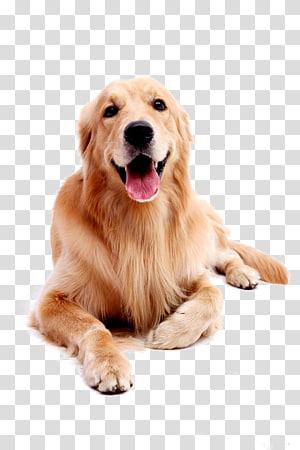 Golden Retriever Labrador Retriever filhote, cão de estimação Golden Retriever, de adulto escuro golden retriever PNG clipart