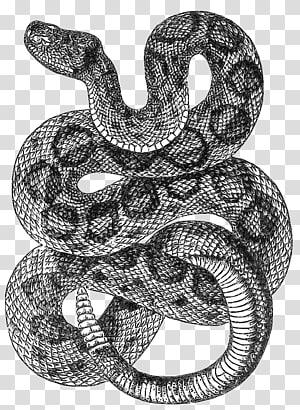 Desenho de cascavel diamondback ocidental, cobras PNG clipart